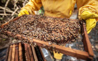 Journée mondiale des abeilles : y a une saison pour le miel ?